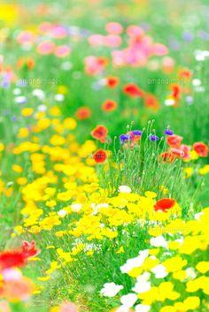 ポピーが咲いた春の花畑 (c)orion
