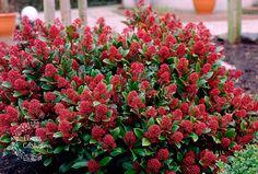 3 x Skimmia japonica Rubella - Pot Big Garden, Small Garden Design, Plant Design, Gardening Courses, Gardening Tips, Organic Gardening, Big Indoor Plants, Spring