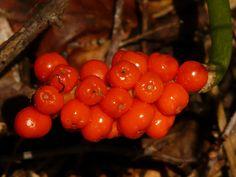 Aronstab - Arum maculatum † Wegen seiner Giftigkeit mit Todesfällen wird diese Heilpflanze nicht mehr in der Volks - und Schulmedizin verwendet!