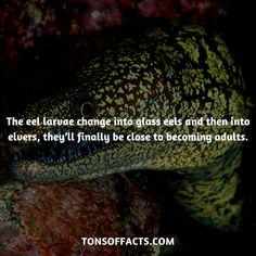 The eel larvae change into glass eels and then into elvers, they'll finally be close to becoming adults. Dolphin Facts, Whale Facts, Dinosaur Facts, Lion Facts, Tiger Facts, Cat Facts, Fun Facts About Animals, Animal Facts, Elephant Facts