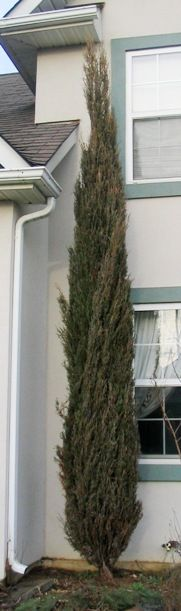Juniperus scopulorum 'Skyrocket' trees for backyard