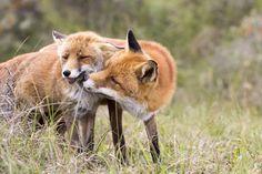 Fox Kisses by AngelaLouwe #animals #pets #fadighanemmd