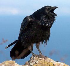 the Common Raven ~ this one wants to be quoted I think haha ~ photo © laniisoma, Santa Cruz, California, January 2009