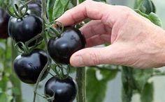 E' impossibile non mangiare il pomodoro nero - provare per credere Se ancora non conoscete il pomodoro nero è arrivato il momento di assaggiarlo oltre ad essere buon salute sun black