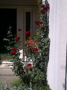 Ria de Grasi shares her Don Juan Climbing rose bush fed Authentic Haven Brand