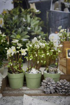 Helleborus - Nice pick of pots