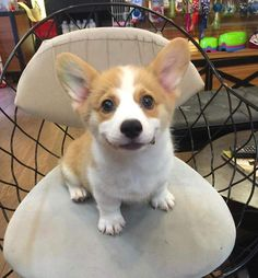 This is a list of some of the cutest Corgi photos. You can add your own special Corgi photos to the list, and you can vote for your favorite pictures of Corgis. Corgi Dog, Pet Puppy, Dog Cat, Baby Corgi, Corgi Funny, Cute Puppies, Cute Dogs, Dogs And Puppies, Baby Animals