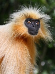 Gee's Golden Langur (Trachypithecus geei), one of the most beautiful monkey species is critically endangered in India. Monkey Species, Animal Species, Unique Animals, Animals And Pets, Beautiful Creatures, Animals Beautiful, Monkey Types, Los Primates, Exotic Cats