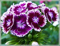 Bartnelke Dianthus