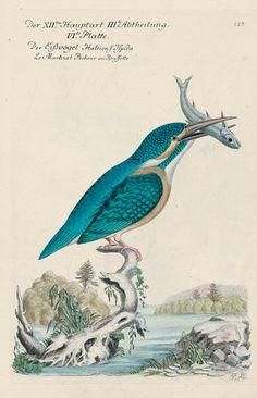 Eisvogel: Johann Leonhard Frisch, Vorstellung der Vögel in Deutschland und beyläufig auch einiger Fremden; nach ihren Eigenschaften beschrieben. 1817. Berlin