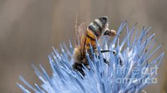 'The Naturalist' by Along the Trail #nature #flowers Bees #blue