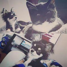 💙Howie (maintenant Harley fils de Sofia et Wendy) se la coule douce dans sa nouvelle famille 💙   www.machupitouchihuahua.com