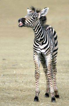 Baby Zebra Smile! Please Follow: +Nature Photobook