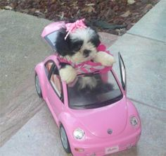 What do I love more than animals? A shih tzu with style