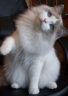 fluffy kittens Cat Grooming Near Me Mobile, Kitten Checklist, - Cat Grooming Des Moines, Kitty Ears. Kittens Cutest, Cats And Kittens, Cute Cats, Ragdoll Cats, Pretty Cats, Beautiful Cats, Cute Baby Animals, Animals And Pets, Clumping Cat Litter