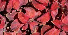 solenostemon scutellarioides coleus plectranthus pinterest. Black Bedroom Furniture Sets. Home Design Ideas