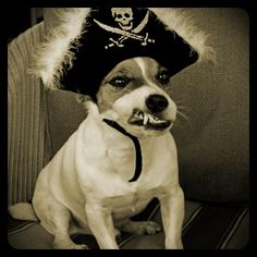 Pirate Jack Russell
