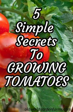 Growing Tomatoes - 5 Simple Secrets To A Great Crop! When it comes to growing tomatoes in the garden, a few simple secrets can make all the difference. learn how to grow a bumber crop this year! Tomato Plant Food, Pruning Tomato Plants, Tomato Fertilizer, Tomato Garden, Vegetable Garden For Beginners, Vegetable Garden Design, Gardening For Beginners, Gardening Tips, Growing Tomatoes