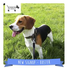 Buster the Beagle is a #NewDoggySignUp with lots of energy who loves cuddles, playing and food :)