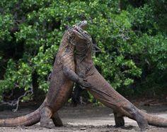 Two male Komodo dragons fight over a female dragon on Komodo Island, Indonesia. That sounds like one island we don't want to get stranded on. Млекопитающие, Страшные Животные, Милые Животные, Фильм Прекрасные Создания, Dragon V2, Крокодилы, Змеи, Фотографии Животных, Гекконы