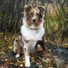 OMG! This is the prettiest Aussie I have ever seen!