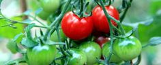 Cara Mudah Menanam dan Budidaya Tomat Dalam Pot/Polybag