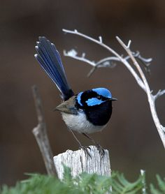 Superb Fairywren (Malurus cyaneus) Pretty Birds, Beautiful Birds, Animals Beautiful, Bird Pictures, Animal Pictures, Baby Animals, Cute Animals, Wild Photography, Australian Animals