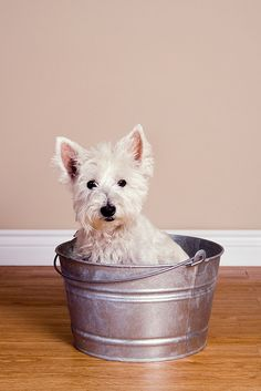 West Highland White Terrier...just wanna kiss that sweet face !!
