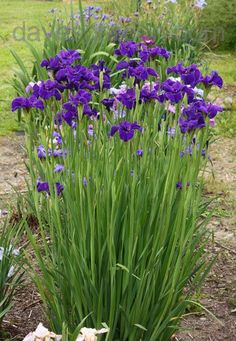 Siberian Iris.  A great addition to any perennial garden.  The blooms don't last long but their foliage stay pretty in an upright clump all season. #Perennials