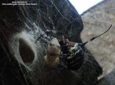 Aranha da espécie (Nephilengys cruentata),  fotografada em São Paulo devorando uma lagartixa