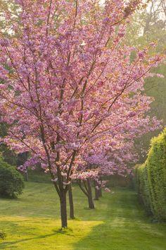 Cerney House Garden, Gloucestershire: Pink Flowers Of Prunus Serrulata - by Clive Nichols