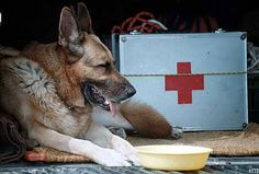 Mancs, the most recognised Hungarian rescue dog. Military Working Dogs, Military Dogs, My Best Friend, Best Friends, Search And Rescue Dogs, Service Dogs, Brave, Police, Hero