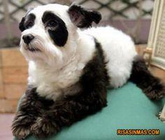 Perro panda :-)