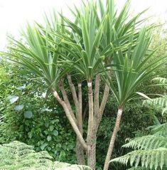 Tanaman Pandan Bali (Cabbage Palm)