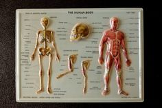 Vintage 3D Human Body Chart  Skeletal and Muscular by ThirdShift - Hang this chart on the wall at your next Halloween party!  Creepy cool!