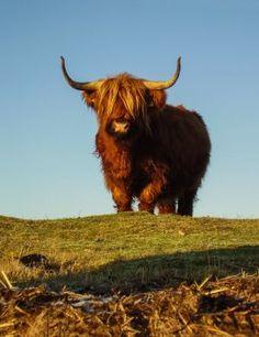 Scottish highland bull in mountain