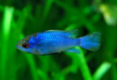 Electric blue ram - freshwater fish. I have one of these guys in my aquarium right now.