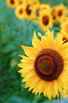Sunflower Trails°°