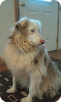 RED DAWN's Story...  RED DAWN- MALE AUSSIE 2 YEARS OLD -RED MERLE, VERY BEAUTIFUL, GOOD WITH OTHER DOGS DOCKED TAIL DOES NOT JUMP A 6 FT FENCE, VERY SWEET AND LOVES TO PLAY, LEASH TRAINED AND CRATE TRAINED. $250.00 ADOPTION DONATION TO HELP WITH HIS VETTING AND CARE. THIS INCLUDES HIS NEUTER, HEART WORM TEST AND SHOTS THIS IS A VERY BEAUTIFUL FULL BRED AUSSIE... A WONDERFUL AND BEAUTIFUL BOY!!!! CONTACT RONDA WHITE AT 770-875-6544 OR RONDAWHITE1@BELLSOUTH.NET  YOU WILL SO LOVE HIM!!!