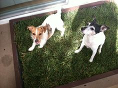 Our dog grass pad subscription in Orange County allows dog owners living in apartments another option when it comes to their dog potty needs. Puppy Toilet Training, Puppy Potty Training Tips, Heated Dog House, Indoor Dog Potty, Pet Dogs, Dogs And Puppies, Dog Litter Box, Dog Urine, Real Dog