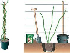 Brombeere pflanzen