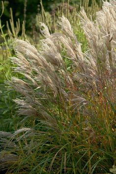 1000 images about ornamental grasses on pinterest. Black Bedroom Furniture Sets. Home Design Ideas