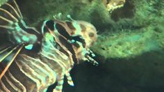 Raggedfin lionfish at london zoo