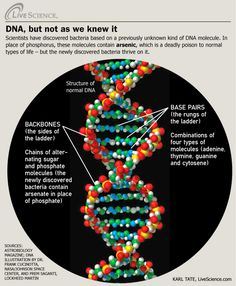 Structure of DNA molecule, and how the newly discovered arsenic-eating bacteria is different.