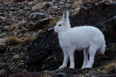 Arctic hares have a length between cm (not including the tail) and weigh between kg. They can be found in the Arctic, like their name already said. Arctic Hare, Can Run, Wild Life, Winter Snow, Kangaroo, Aesthetics, Cute, Animals, Baby Bjorn