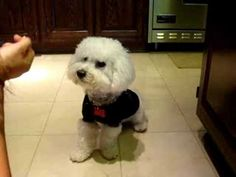 Bichon Puppy counts and adds - YouTube
