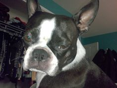 Lindy the Boston Terrier is judging you...
