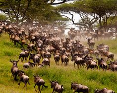 Tanzania - Africa The thunderous sound of more than a million wildebeest trekking across wide open plains in the Serengeti is not one you're likely to forget.