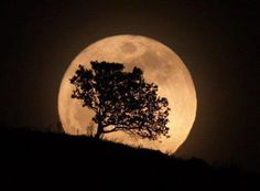 tree silouette by the moon