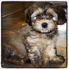 Havanese! My favorite breed.